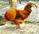 """""""ROOSTER SECOND SHOT"""" by waddleudo"""