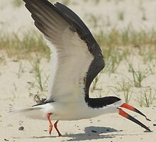 Black Skimmer by Cynthia Broomfield