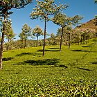 Munnar Tea Gardens by Dhruba Tamuli