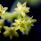 Lady's Mantle by missmoneypenny