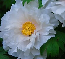 Tree Peony by WarrenMangione