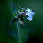White Campion ( Silene Latifolia) by Alan Mattison