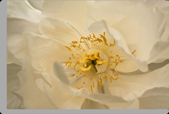 White Tree Peony by Diana Nault
