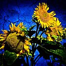 ...sunflowers... by Geoffrey Dunn