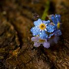 True Forget-Me-Nots - Myosotis scorpioides by Megan Noble