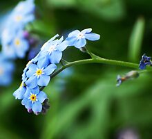 Forget-Me-Not from my summer house by Antanas