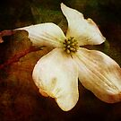 Dogwood (for Dreamflower) by vigor