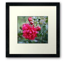 DEEP PINK ROSE Framed Print