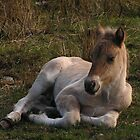 Sleepy Highland Foal by Kat Simmons