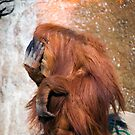 Bashful Orangutan by Randall Ingalls