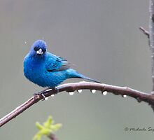 Indigo Bunting and raindrops by PixlPixi