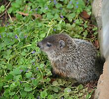 Baby Groundhog by Tom Hagen