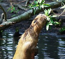 Capybara reaching for some Yummy Green Leaves by Paulette1021