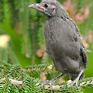 baby Common Grackle by (Tallow) Dave  Van de Laar