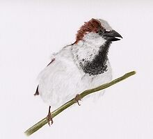 The Watch Dog (house sparrow perched on branch) by c painter