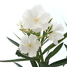 Oleander White by taiche