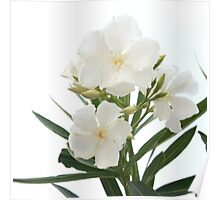White Oleander Flowers Close Up Isolated On White Background  Poster