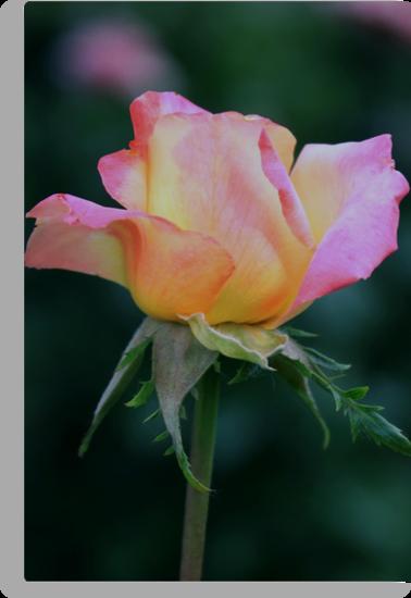 Love & Peace Hybrid Tea Rose by Robert Armendariz