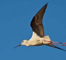 Black-winged Stilt by Remesh Kumar