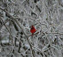 Cardinal in Icy Tree by Brenda Flynn