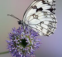 Marbled white by jimmy hoffman