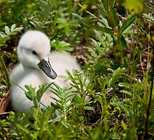 Mute Swan Cygnet by Michael Cummings