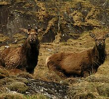Red Deer Stags at Loch Quoich by Kat Simmons