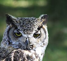 "Great Horned Owl - ""Gordon"" by Alyce Taylor"