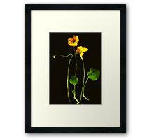 Golden Nasturtium Framed Print