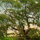 The Tree Gippsland Victoria  by Virginia McGowan