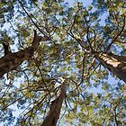 Three Karri Trees by Leonie Mac Lean