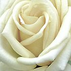 White Rose by Rodney55