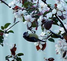 Blue tit in an apple tree by Susanna Hietanen