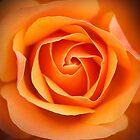 Rose by Man kit Wong