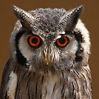 Southern White Face Owl by Mark Hughes