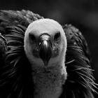Griffon Vulture by Andreas  Berheide