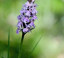 Common Spotted Orchid by cherryannette