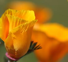 California Poppy bud by Sherry Cummings