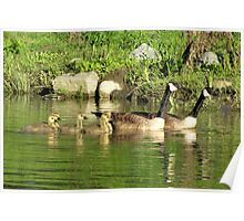 Family swim: Canada geese Poster