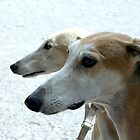 Profiles of the Spanish greyhounds by homesick