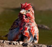 Little Red Rooster by Martin Smart
