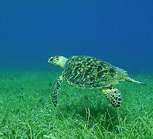 Hawksbill Turtle 2 by Leon Heyns