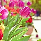 Tulips in Holland Park by Sherie LaPrade