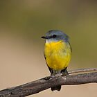 EASTERN YELLOW ROBIN   by DIZZYHEIGHTS
