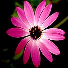 Pink flower by Barbara Anderson