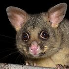 Common Brushtail Possum - Trichosurus vulpecula by Andrew Trevor-Jones