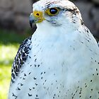 Peregrine Falcon by vivsworld