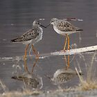Lesser Yellowlegs by Marty Samis