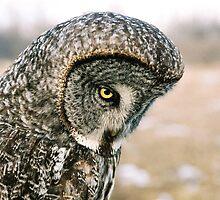 Great Grey Owl (Strix nebulosa) by Marty Samis