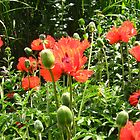 A blaze of poppies. by Heather Goodwin
